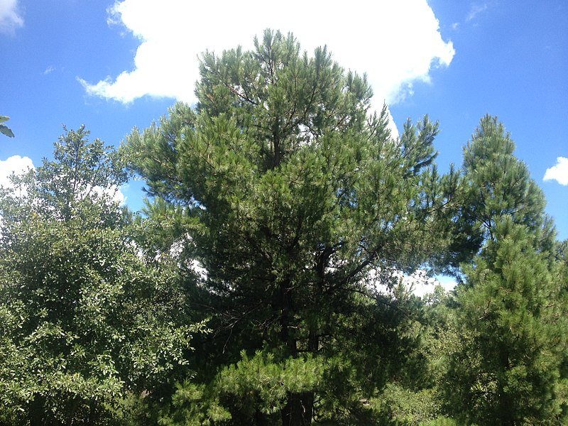 Flora de un bosque de pino encino