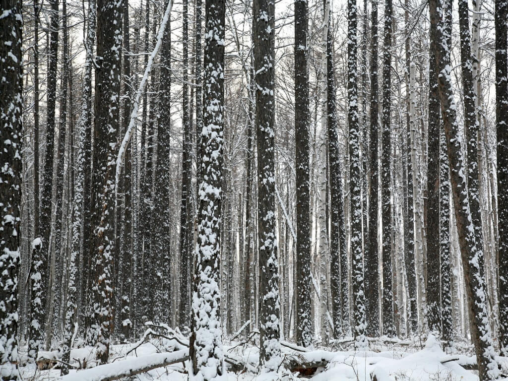 bosques boreales clima continental