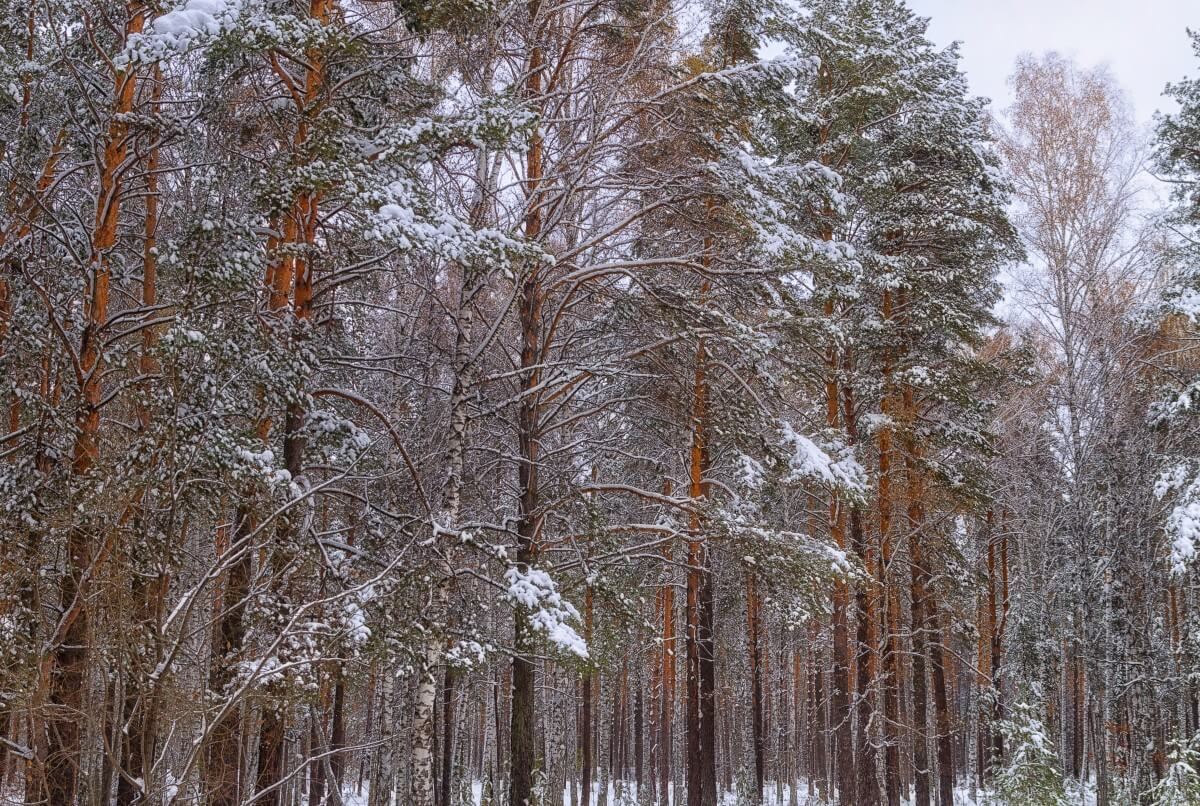 bosques boreales flora