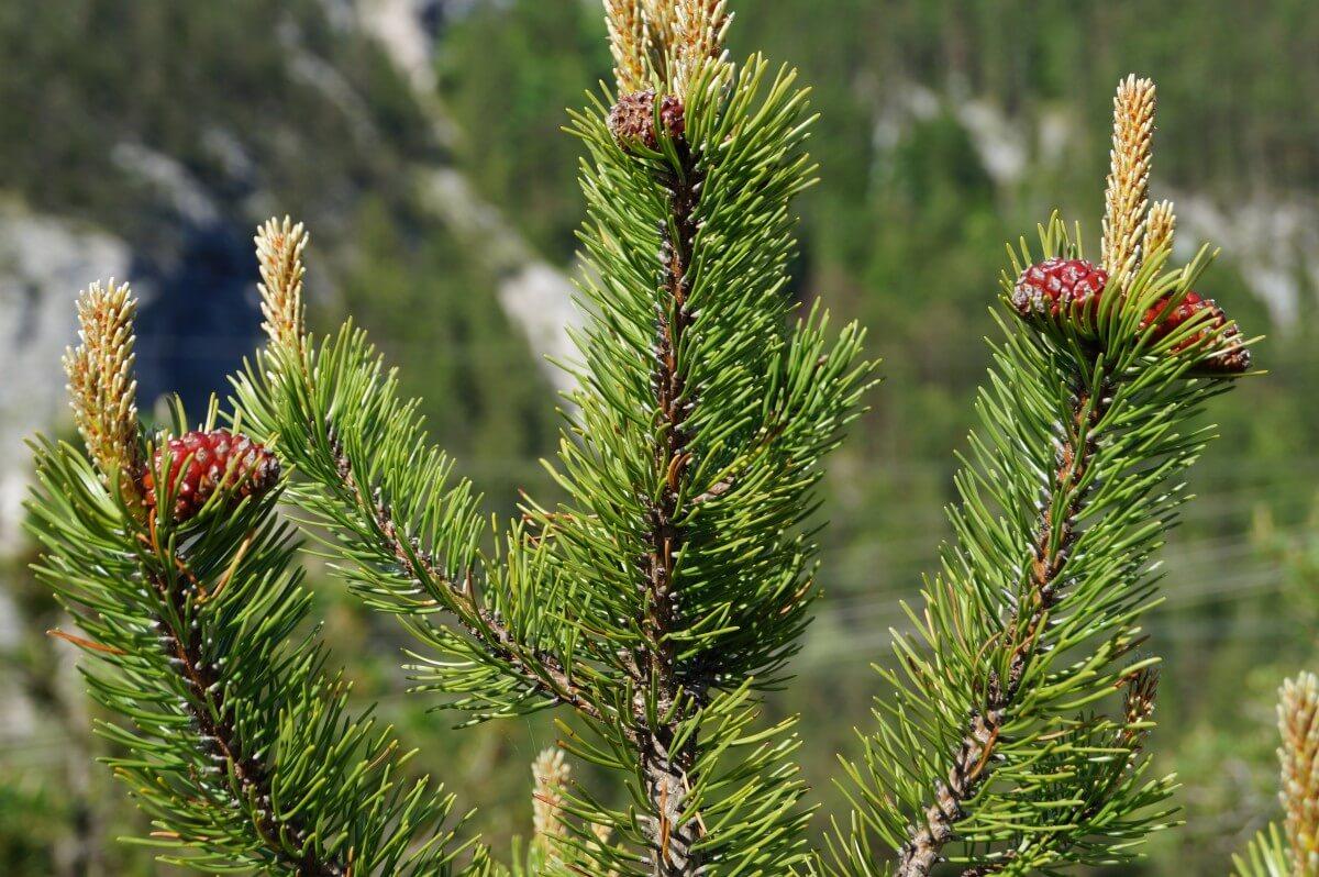 flora del bosque coníferas